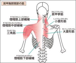 首の筋肉の解剖図・後ろ側