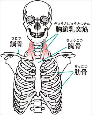 首の筋肉の解剖図